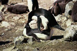 2 penguins having sex