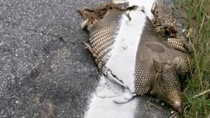 armadillo roadkill