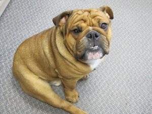Romeo the bulldog