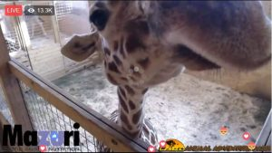 giraffe mugginjg for the giraffe cam